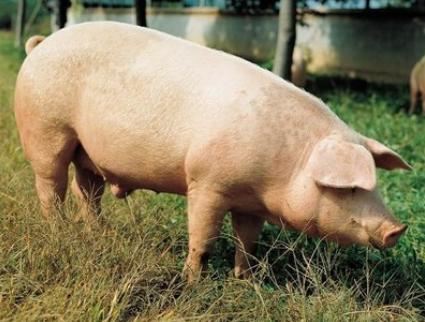 10月16日全国生猪价格外三元报价表,广东外三元生猪价格涨幅全国最大