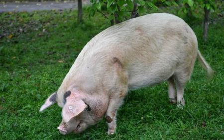 母猪产完崽子瘫了?怎么办?