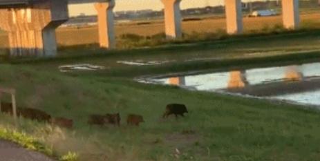 一路狂奔的野猪群