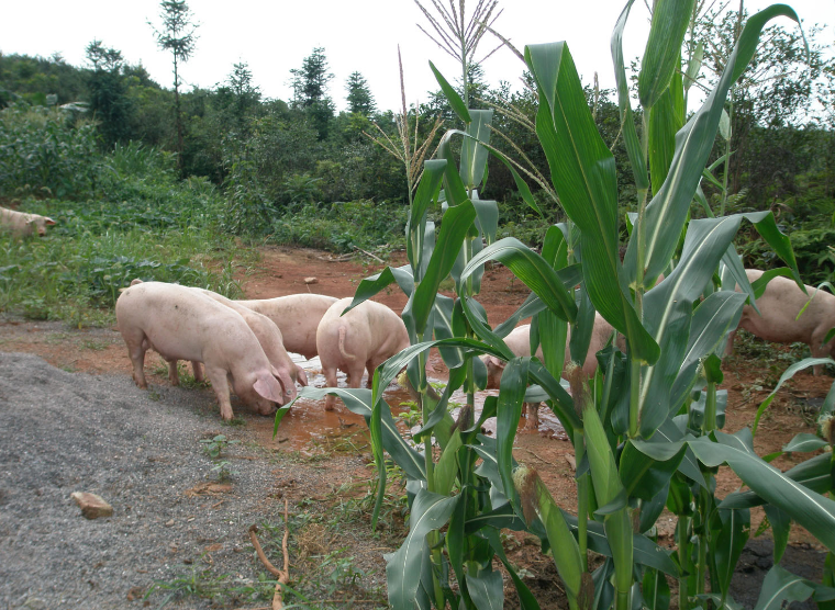 10月17日全国生猪价格土杂猪报价表,本轮猪价大幅上涨走势没能延续