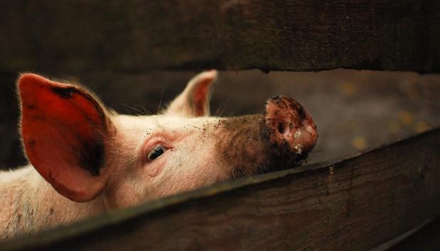 10月17日全国生猪价格外三元报价表,广东生猪价格跌回40元以内