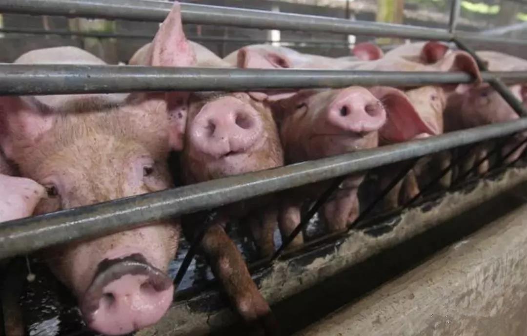 为什么我们研发了8种蓝耳疫苗,蓝耳病依然可以肆虐养猪界?