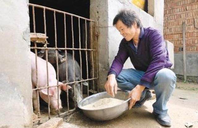 不等不靠 贫困户自强自立的养猪致富路