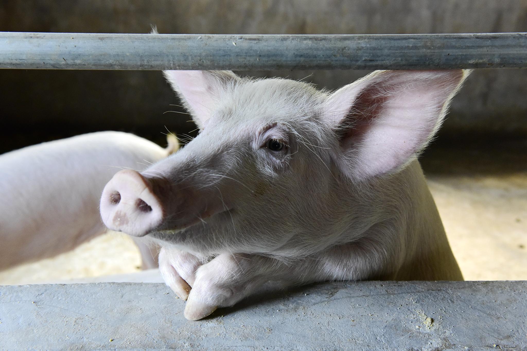 司机将面包车非法改装成运猪车 装10头猪崽惊呆交警