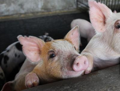 加大生猪稳产 保障力度
