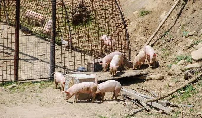 韩国48小时捕捉126头野猪,防止非洲猪瘟疫情扩散!