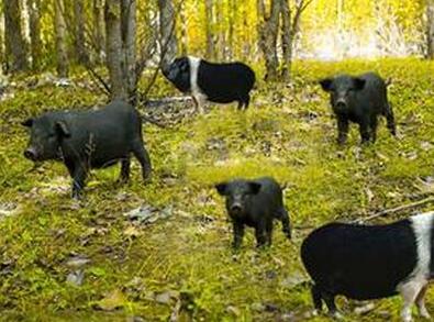 10月18日全国生猪价格土杂猪报价表,广东土杂猪价震荡,破40大关可能依旧存在