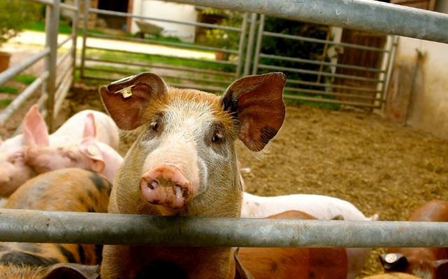10月18日全国生猪价格内三元报价表,云南内三元猪价有明显上涨