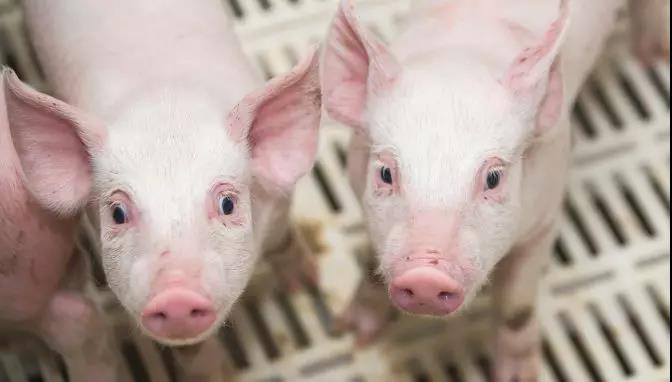 年底猪价能涨到50元吗?生猪养殖利润高,可这三大问题怎么解决?