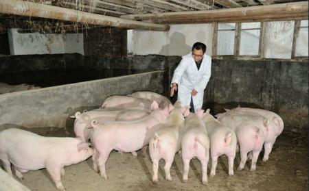 """水泥地面养猪危害大,养猪户却仍痴迷,只因不懂猪场""""水泥病"""""""