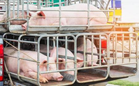 """七座客车变""""猪笼"""",非法运输20多头猪被查获!"""