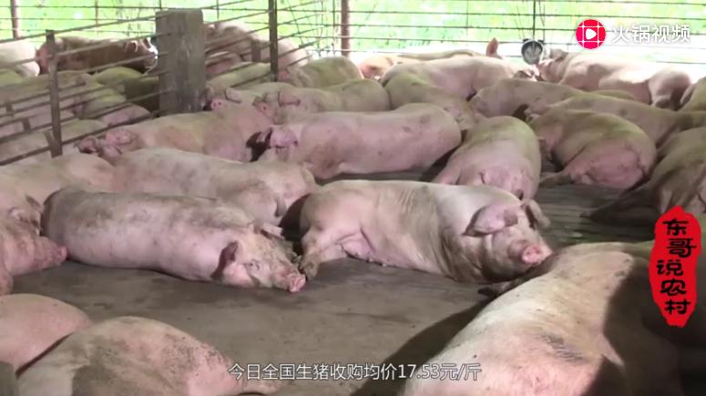 生猪价格多地上涨,高价猪市还要持续多久?