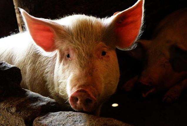10月22日全国生猪价格内三元报价表,内三元猪价格多地上涨幅度超1元/公斤