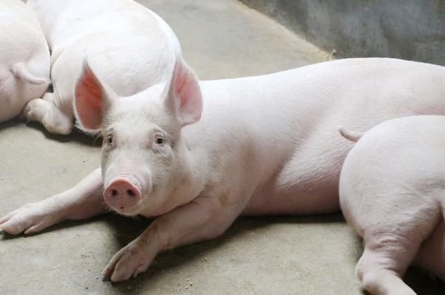 10月22日全国生猪价格外三元报价表,预测本周大部区域猪价破40元大关