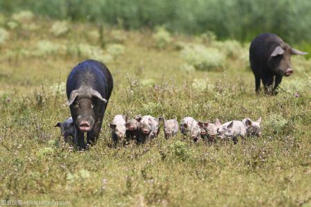 防非洲猪瘟扩散,韩国民官军第2次联合捕捉野猪!