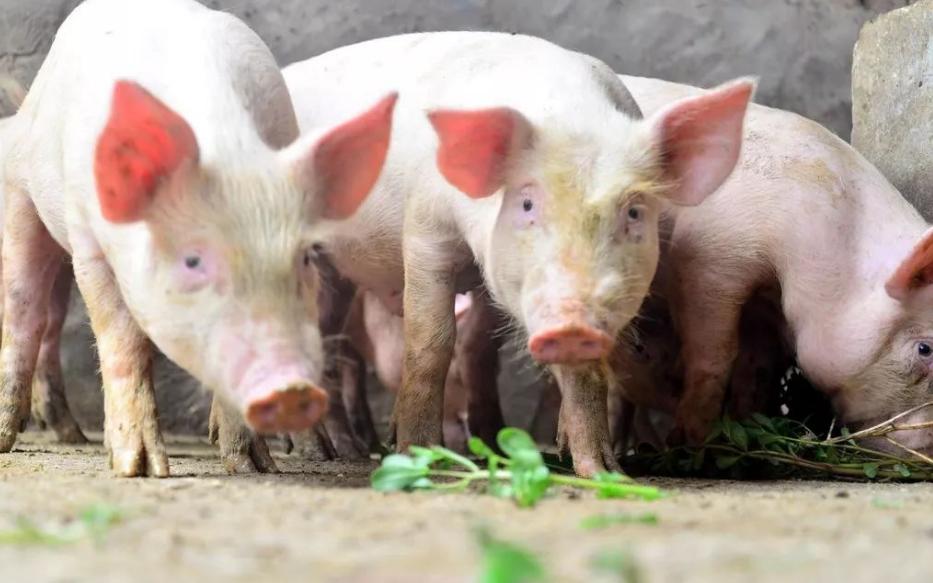 10月23日全国生猪价格外三元报价表,超半数省市地区猪价破40大关