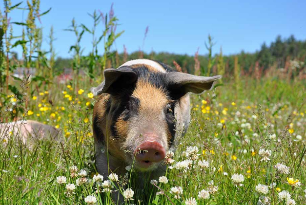 """10月23日全国生猪价格,生猪产能恢复慢,""""疯涨""""的猪价难控制!"""
