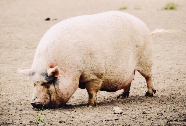 10月24日全国各地区种猪价格报价表,河南长葛二元母猪价格处于低位