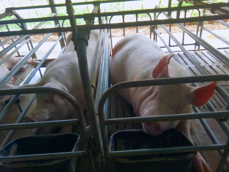 产仔限位栏和产仔围栏中母猪产前行为对母性行为、仔猪增重及死亡率的影响