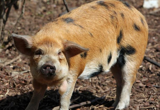 10月24日全国生猪价格土杂猪报价表,今日上涨幅度较前两日收窄