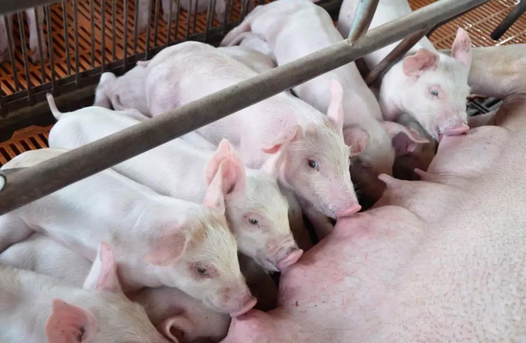 解决母猪泌乳问题,需了解的母猪乳腺发育(上)