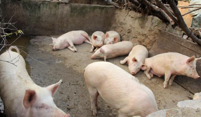 10月24日全国生猪价格内三元报价表,宁夏内三元猪价格涨幅最大