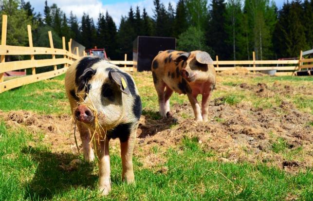 调研在路上|东北生猪草根情况调研 散户生猪复养意愿不强