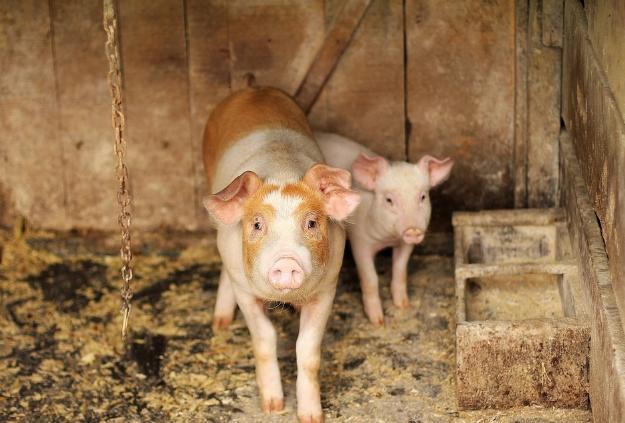 10月24日全国生猪价格,云南涨幅最大,积极做好猪价调控