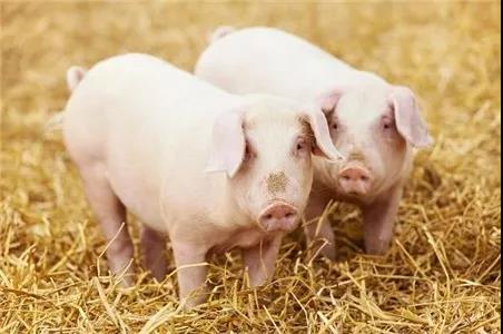 """唐红宾:""""善待猪,提供生理舒适度、原料清洁度和营养均衡度,可以降低(非瘟)感染概率"""""""