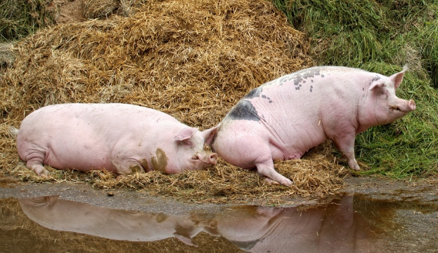 10月25日全国生猪价格土杂猪报价表,土杂猪价格继续以上涨为主