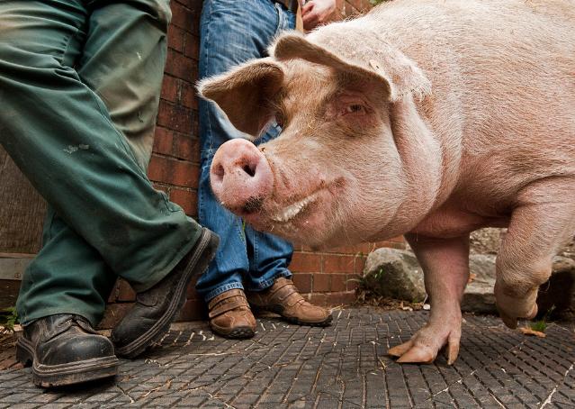 10月25日全国生猪价格内三元报价表,内三元猪价继续上涨