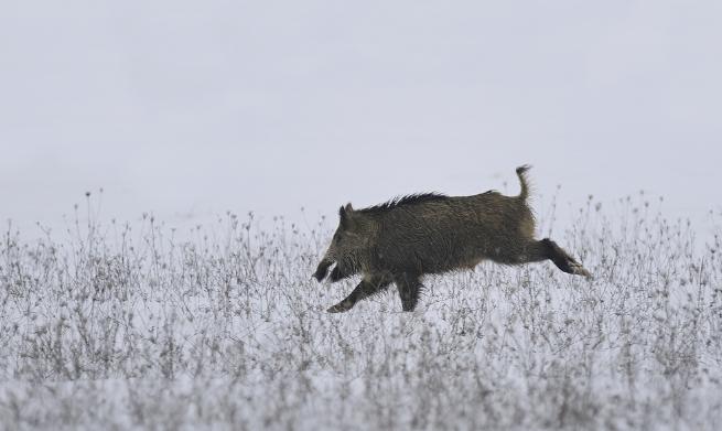 韩国检测出非瘟病毒的野猪增至14只 组织捕捉组捕捉疫区野猪