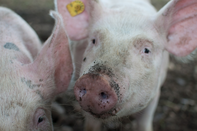 10月26日全国生猪价格内三元报价表,广东内三元猪价位居全国最高