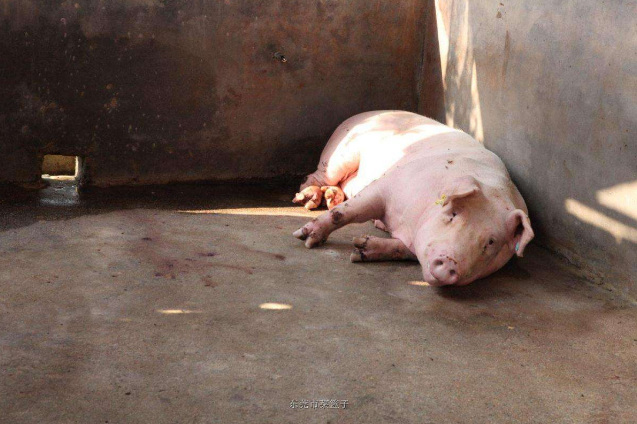 10月26日全国生猪价格外三元报价表,广东猪价格破45元大关