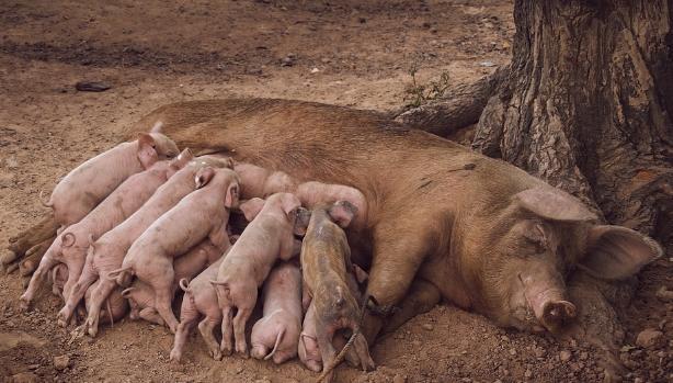 10月27日全国各地区种猪价格报价表,种猪价格保持高位运行