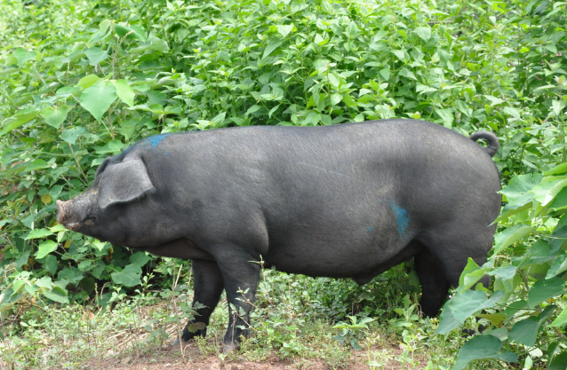 10月27日全国生猪价格外三元报价表,云南生猪价格涨幅最大