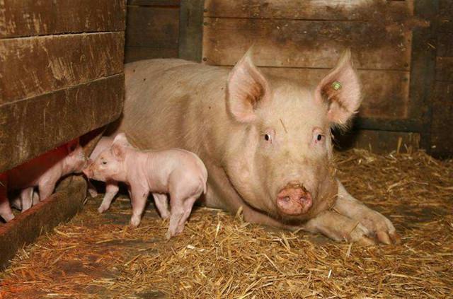母猪产后低血钙症的预防与应对措施