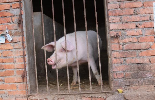 10月28日全国各地区种猪价格报价表,河南长葛二元母猪报价大幅上涨