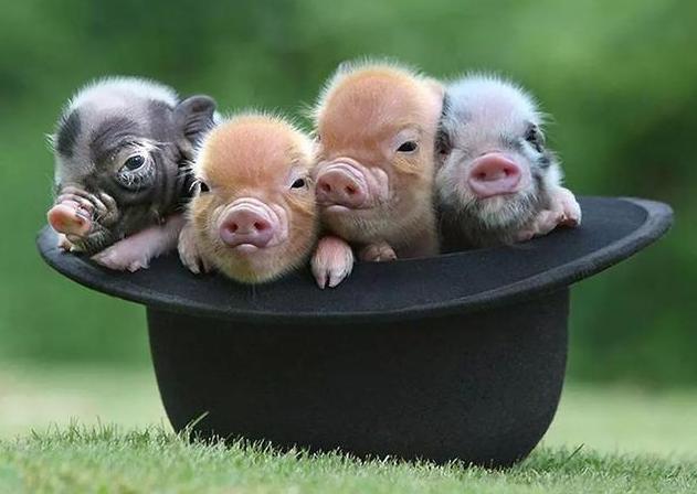 """10月28日全国生猪价格,排查出新疫情,猪价依旧""""步步高"""""""