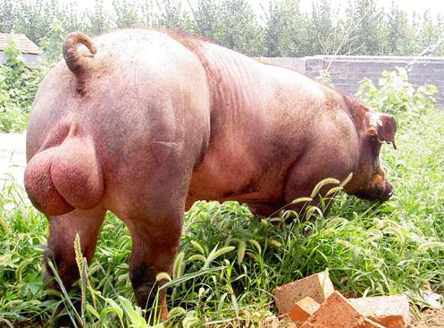 10月29日全国各地区种猪价格报价表,母猪稀缺将保持高价位运行