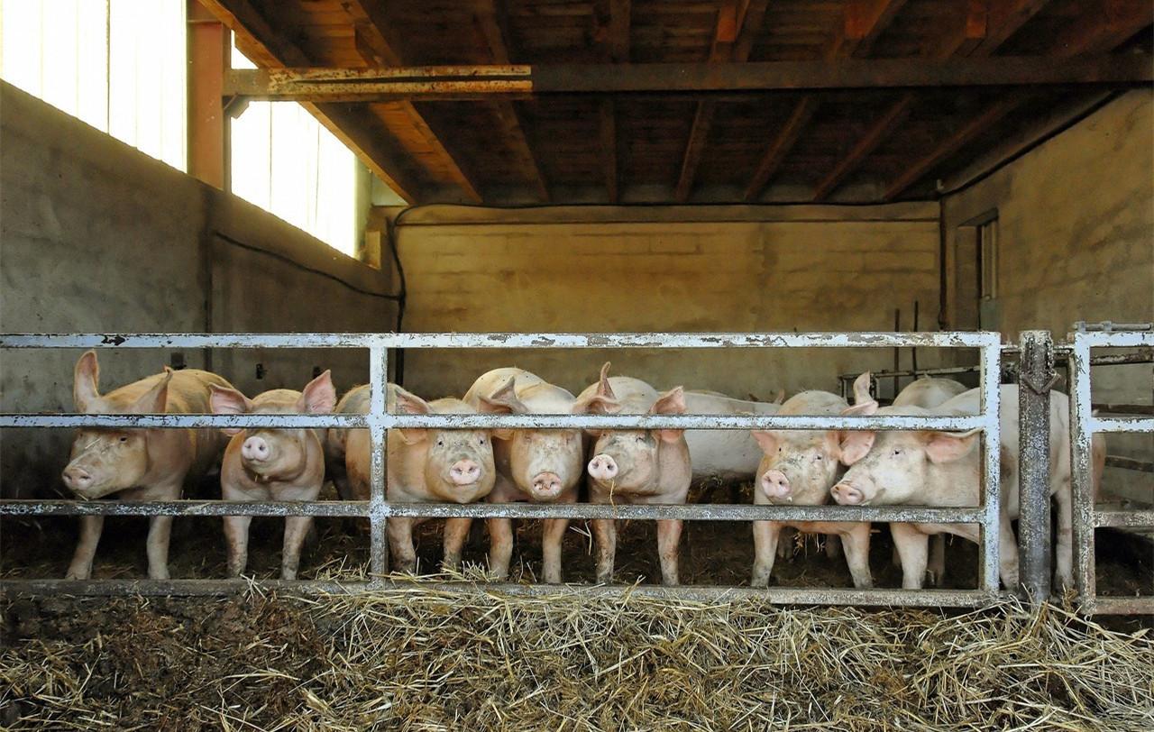 10月29日全国生猪价格土杂猪报价表,土杂猪每公斤月均涨幅超11元
