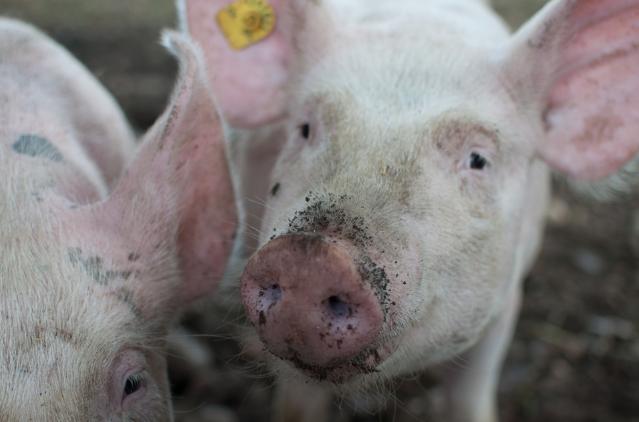 10月29日全国生猪价格内三元报价表,小幅上涨趋势预计会持续一段时间