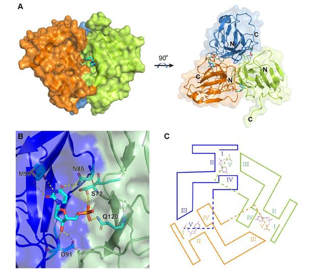 中科院高福院士团队解析非洲猪瘟病毒关键酶结构