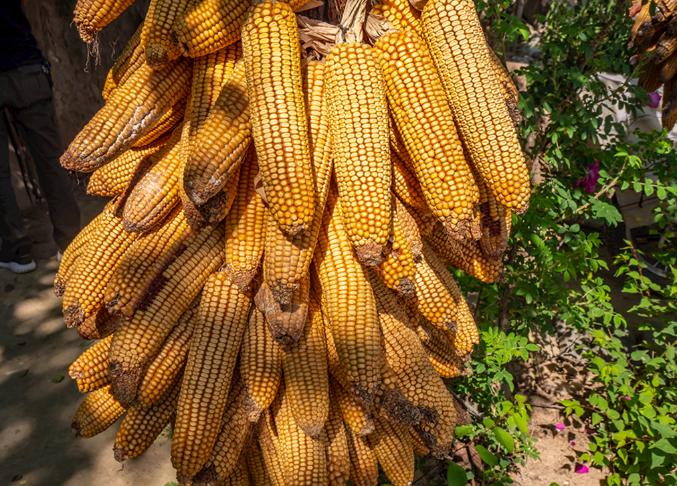 玉米价格波动风险逐步显现,短期内下行空间相对有限