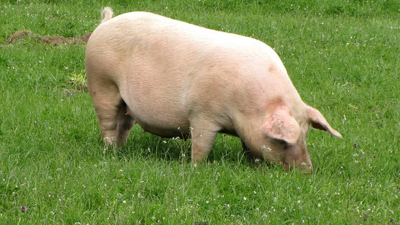 10月30日全国各地区种猪价格报价表,河北滦县种猪价格上涨