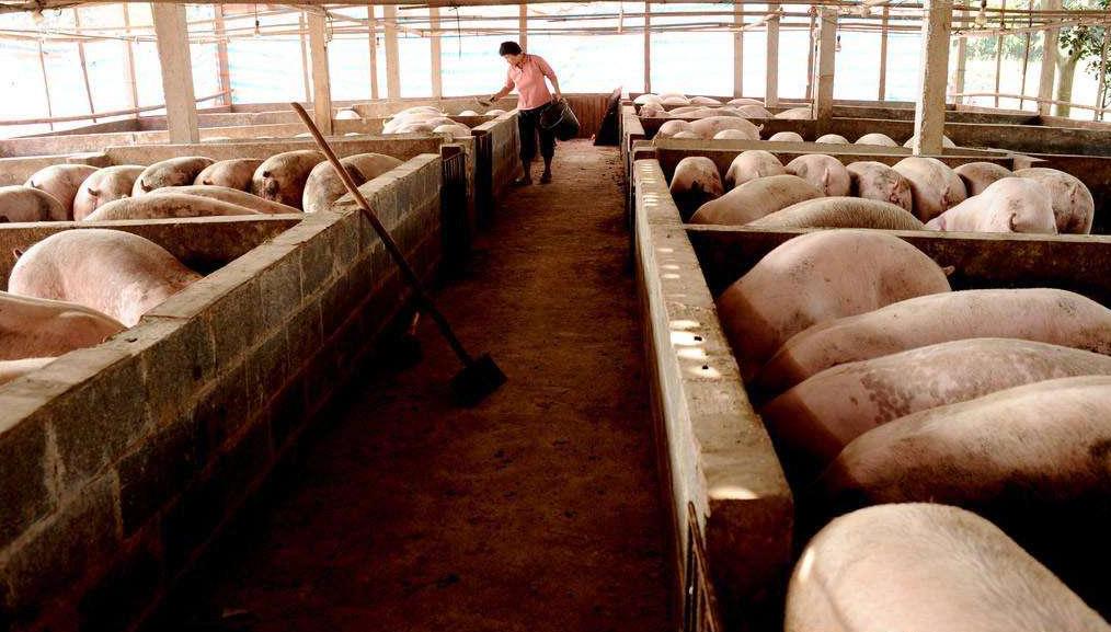 新希望在越南增设年产70万头猪养猪场 巴西计划来华推销猪肉