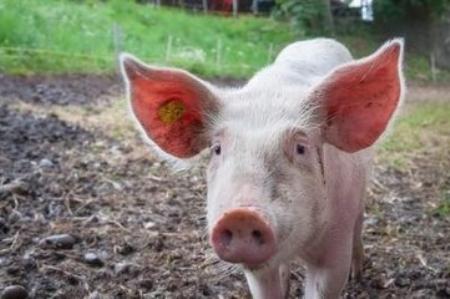 猪也有心情,真的还是假的?