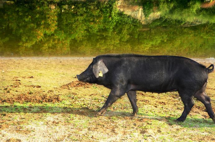 10月31日全国生猪价格土杂猪报价表,粤闽川土杂猪价格位居全国前三