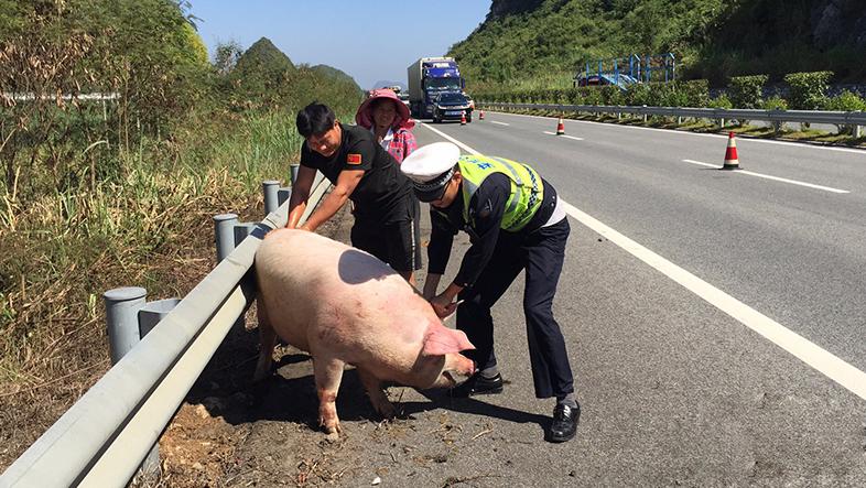 """货车侧翻生猪逃窜 警民上演""""抓猪大战"""""""