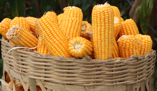 11月1日全国玉米价格行情表,玉米价格短期内回升可能性不大